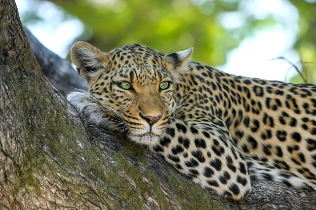 Leoparden im Yala National Park in Sri Lanka