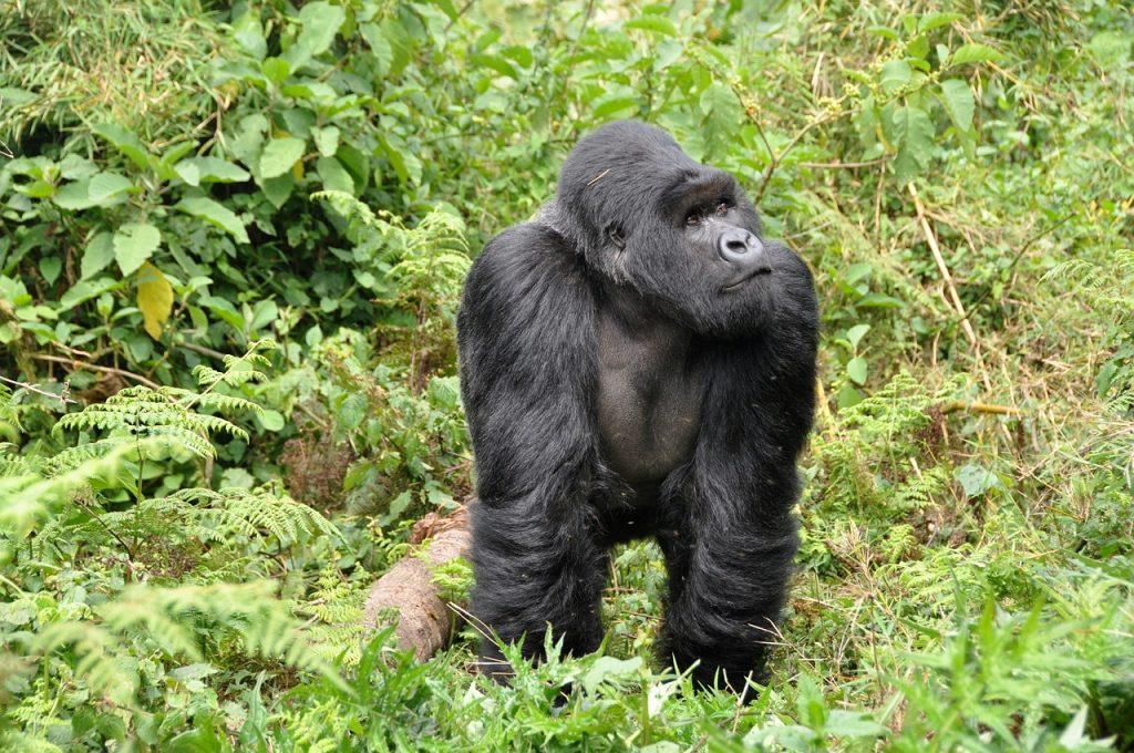 Reiseziele im Juni - Berggoriallas in Ruanda