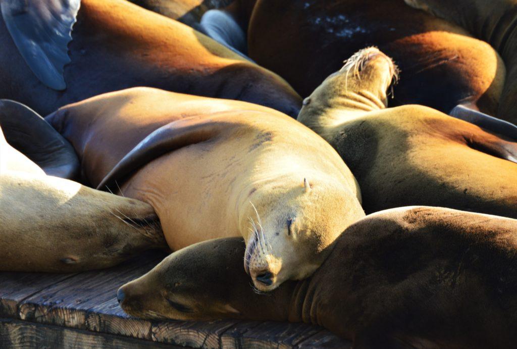Sunbathing sea lions in San Francisco
